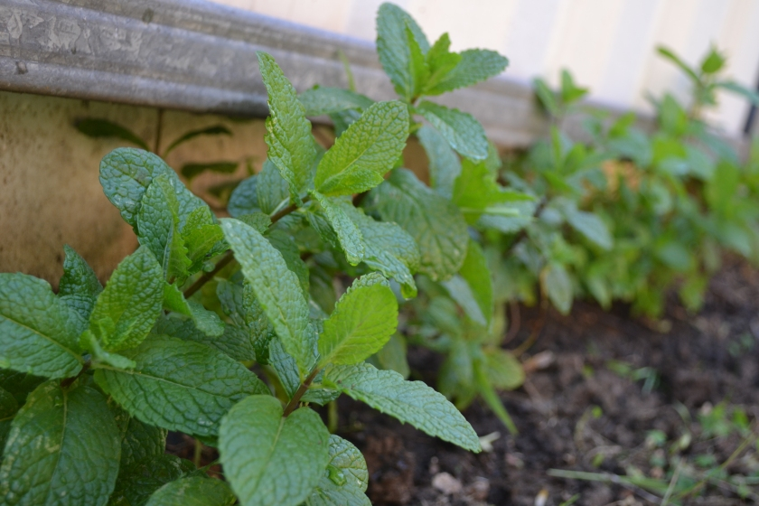 Mint in the backyard